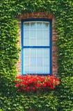 La hiedra verde se encrespa alrededor de una ventana Fotos de archivo libres de regalías