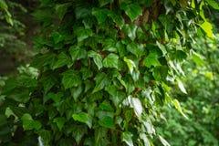 La hiedra verde se va alrededor del árbol en el bosque Imagen de archivo libre de regalías