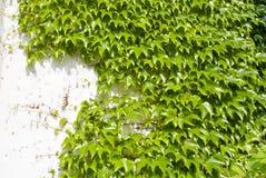 La hiedra verde y la pared blanca Foto de archivo libre de regalías