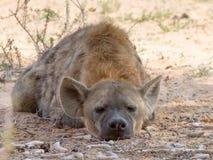 La hiena el dormir Brown fotografió en el parque nacional internacional de Kgalagadi entre Suráfrica, Namibia, y Botswana Imagen de archivo libre de regalías