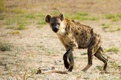 La hiena manchada fotografió en el parque nacional internacional de Kgalagadi entre Suráfrica, Namibia, y Botswana Imágenes de archivo libres de regalías