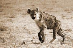 La hiena manchada fotografió en el parque nacional internacional de Kgalagadi entre Suráfrica, Namibia, y Botswana Procesado aden Fotos de archivo