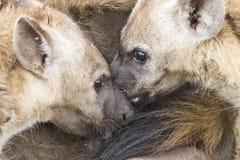La hiena pare la alimentación en su madre como parte de una familia Imagen de archivo