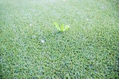 La hierba artificial verde, plástico verde se hace como un césped Hojas de una planta real que crece entre hierba falsa fotos de archivo libres de regalías