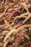 Campo de la hierba de cola de zorra Fotografía de archivo libre de regalías