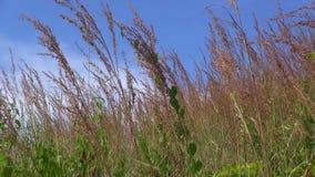 La hierba de lámina amarilla seca está agitando en el viento contra un cielo azul claro con algunas nubes dispersadas almacen de video