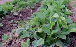 La hierba de la patata del crecimiento natural crece el verde fresco s de la verdura de hojas de la primavera del árbol forestal  Imagen de archivo libre de regalías