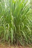 Planta de la hierba de limón Fotografía de archivo