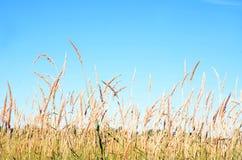 La hierba del campo tiene tallos altos contra el cielo azul imágenes de archivo libres de regalías