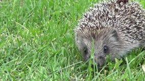 La hierba del erizo va naturaleza de animales metrajes