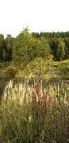 La hierba está creciendo en el fondo de los árboles y del bosque de abedul Foto de archivo libre de regalías