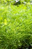 La hierba fresca .close del eneldo encima de .sh permite el DOF Fotografía de archivo libre de regalías
