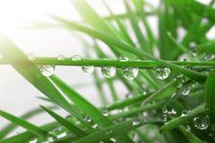La hierba fresca con gotas de rocío se cierra para arriba Imagen de archivo libre de regalías