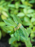 La hierba fresca del primer llamó a japanese Mint (Mentha AR fotografía de archivo
