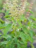 La hierba fresca del primer llamó la albahaca Thai Holy (Ocimum fotos de archivo