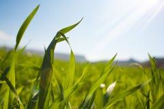 La hierba fresca verde en el ` s del sol irradia imagenes de archivo