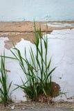 La hierba ha brotado en el verano en el fumdament viejo del ladrillo Imagen de archivo libre de regalías