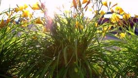 La hierba, las plantas y los wildflowers altos con el sol señala por medio de luces metrajes