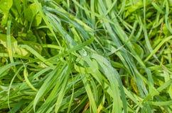 La hierba, rocío Fotos de archivo libres de regalías