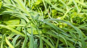 La hierba, rocío Fotografía de archivo