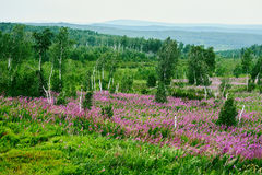 La hierba rosada del sauce Fotografía de archivo libre de regalías