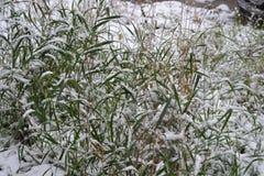 La hierba se cubre con nieve Foto de archivo