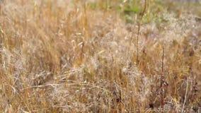 La hierba se sacude en el viento almacen de metraje de vídeo