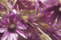 la hierba secó botanica de las flores de la púrpura de las publicaciones anuales de las flores (Kserantemum) Foto de archivo libre de regalías