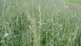 La hierba verde balancea en el viento almacen de video