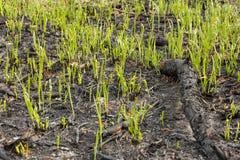 La hierba verde brota el brote a través de las cenizas después de que un fuego en una textura conífera del fondo del bosque Fotos de archivo