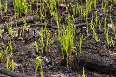 La hierba verde brota el brote a través de las cenizas después de que un fuego en una textura conífera del fondo del bosque Foto de archivo libre de regalías