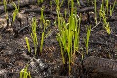 La hierba verde brota el brote a través de las cenizas después de que un fuego en una textura conífera del fondo del bosque Fotografía de archivo libre de regalías