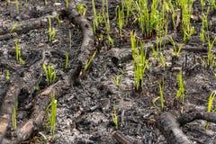 La hierba verde brota el brote a través de las cenizas después de que un fuego en una textura conífera del fondo del bosque Fotos de archivo libres de regalías