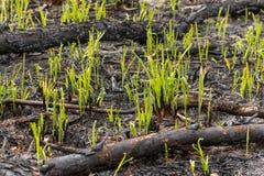 La hierba verde brota el brote a través de las cenizas después de que un fuego en una textura conífera del fondo del bosque Imagen de archivo libre de regalías