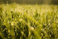 La hierba verde con agua cae, temprano por la mañana, resplandor del sol foto de archivo libre de regalías