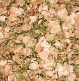 La hierba verde joven que crece a través de abedul seco se va Foto de archivo libre de regalías