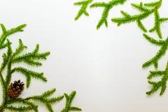 La hierba verde, musgo le gusta la rama del piel-árbol en un fondo blanco con un cono de abeto Lugar bajo texto Fotografía de archivo