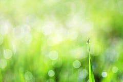 La hierba verde se cubre con descensos brillantes del rocío de la mañana Imágenes de archivo libres de regalías