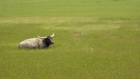 La hierba y las vacas Foto de archivo libre de regalías