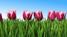 La hierba y los tulipanes almacen de video