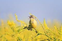 La hochequeue jaune chante la chanson sur le pré lumineux d'été Photos stock