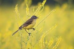 La hochequeue jaune chante la chanson sur le pré lumineux d'été Photographie stock libre de droits