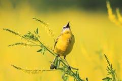 La hochequeue jaune chante sur le champ d'or du trèfle en été Images stock