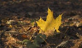 La hoja amarilla caida-abajo en la tierra en los haces del sol poniente Fotografía de archivo