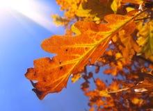 La hoja anaranjada del roble en el sol irradia la visión desde abajo Imagenes de archivo