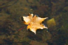 La hoja de arce del otoño que miente en el agua Foto de archivo libre de regalías