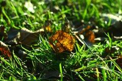 La hoja de Brown miente en hierba y es hecha excursionismo por la luz del sol Fotografía de archivo