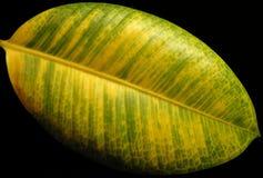 La hoja de color verde amarillo del ficus Fotos de archivo libres de regalías