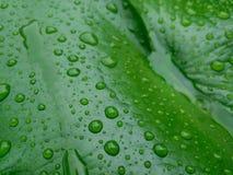 La hoja de Lotus con agua cae verde del efecto Imagenes de archivo