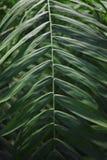 La hoja de palma es verde, con las hojas paralelas horizontales, primer Fotografía de archivo libre de regalías